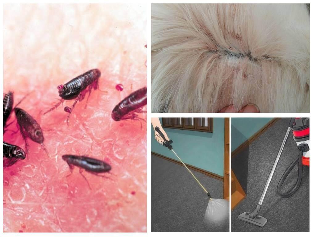 Как убрать блохи в домашних условиях