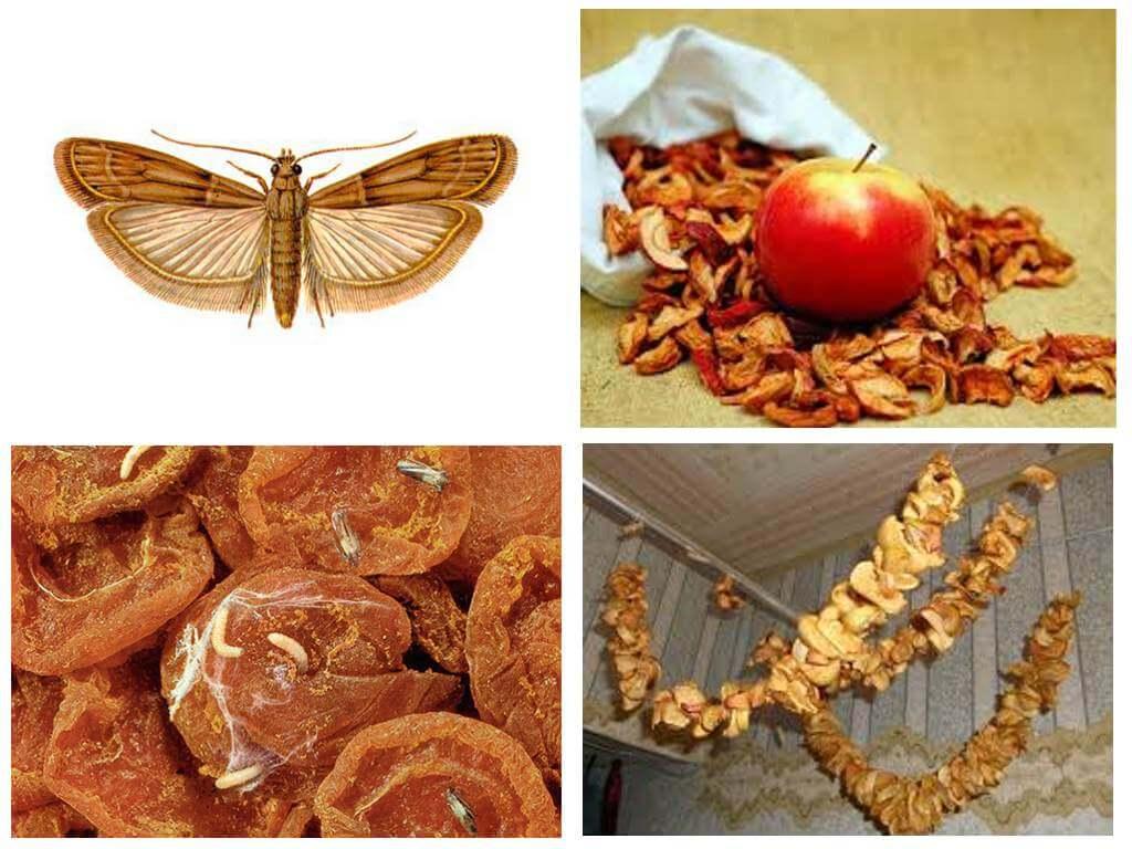 Моль в сушеных яблоках