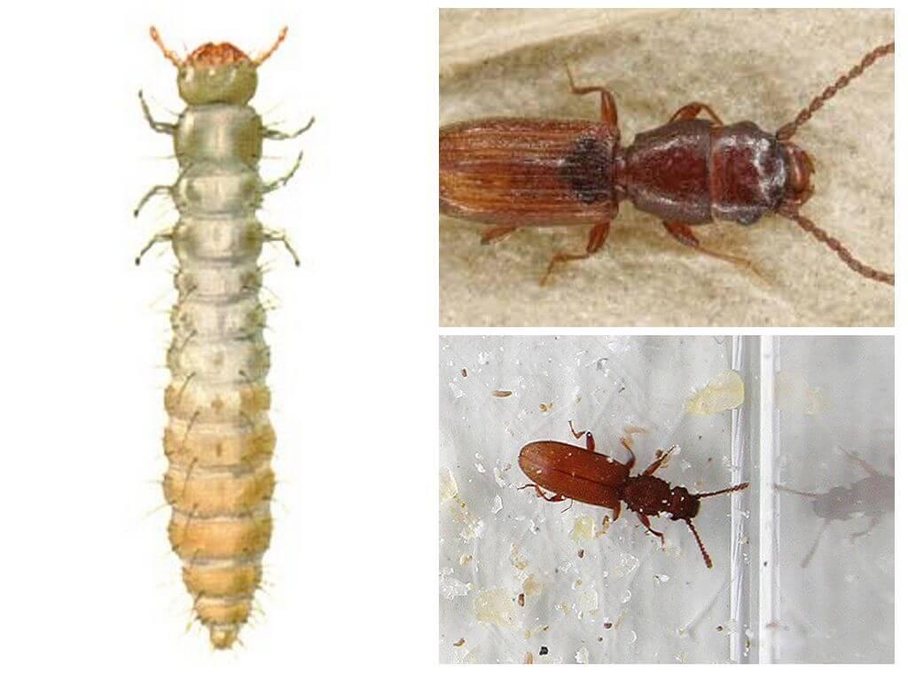 Личинки суринамского мукоеда