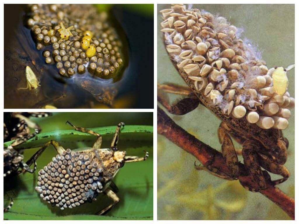 Giant Water Bugs Family Belostomatidae  ThoughtCo