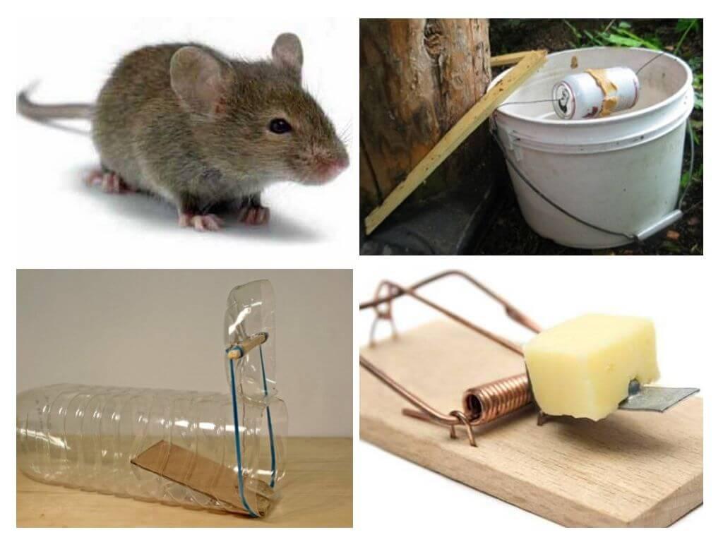 Разновидности ловушек для мышей
