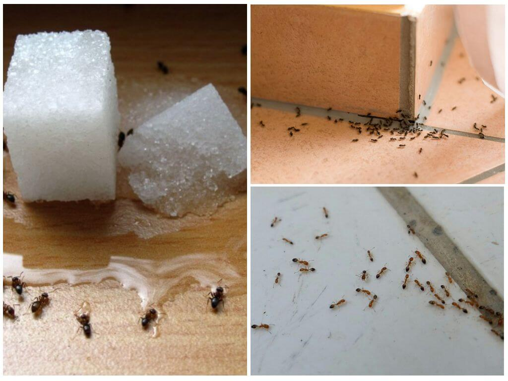 Вывести муравьев домашних условиях 181