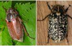Описание и фото майских жуков