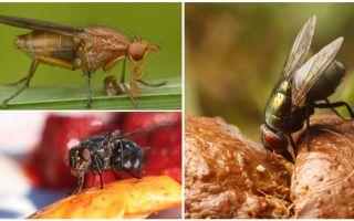 Чем питаются мухи