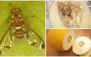 Описание дынной мухи и методы борьбы с ней