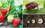 Как бороться с личинкой майского жука на клубнике