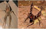 Бразильский странствующий паук (бегун, блуждающий, солдат)