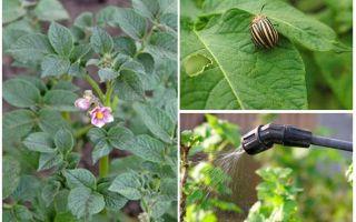 Можно ли обрабатывать картофель от колорадских жуков во время цветения