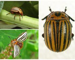 Как выглядит колорадский жук, его фото и образ жизни