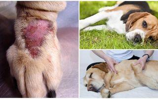 Симптомы и лечение болезни Лайма у собак