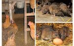 Как бороться с крысами в курятнике