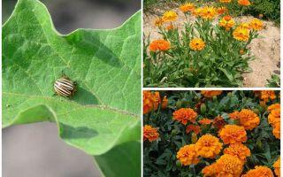 Как защитить и уберечь баклажаны от колорадского жука