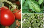 Тля на помидорах — чем обработать и как бороться