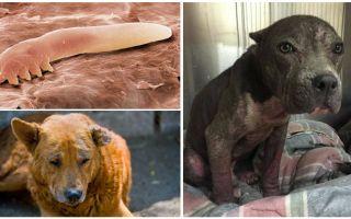 Симптомы, лечение и фото демодекоза у собак
