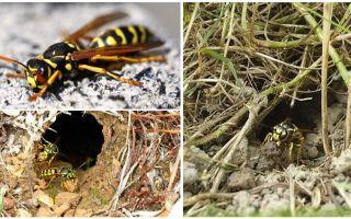 Как уничтожить земляных ос и осиные гнёзда в земле