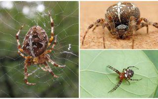 Описание и фото паука крестоносца