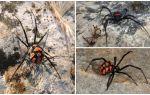 Описание и фото пауков Казахстана