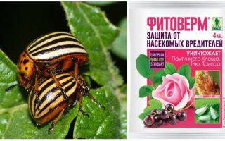 Как развести Фитоверм от колорадского жука
