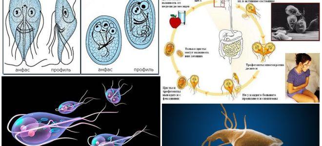 Жизненный цикл лямблий и лечение цист