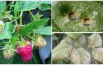 Как бороться с паутинным клещом на малине