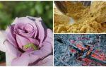 Чем опрыскивать розы от гусениц и тли