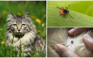 Что делать и как лечить клеща у кошки или кота