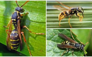 Описание и фото бумажной осы