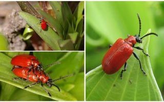 Как бороться с красными жуками на лилиях