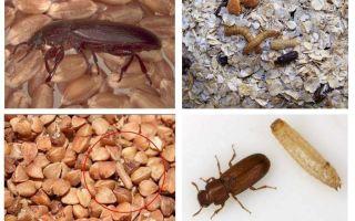Мошки в крупах, муке, макаронах и как от них избавиться
