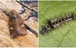 Описание и фото бабочки и гусеницы совки, как бороться