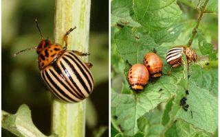 Как и когда появился колорадский жук в России