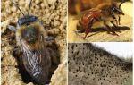 Как вывести земляных пчел с участка