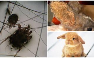 Лечение ушного клеща у кроликов