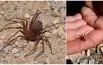 Коричневый паук отшельник