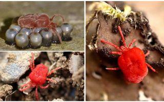 Описание и фото краснотелковых клещей
