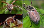 Чем питаются майские жуки