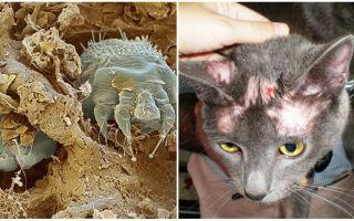 Лечение чесоточного клеща у кошек