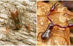Ложноскорпион – жук с клешнями как у скорпиона