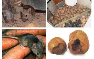 Как вывести мышей из погреба