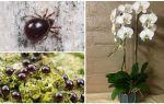 Как избавиться от панцирных и паутинных клещей на орхидее