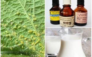 Молоко с йодом от тли