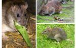 Как выглядят крысы
