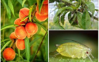 Как бороться с тлей на персике народными и магазинными средствами
