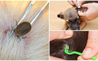 Как удалить клеща у собаки в домашних условиях
