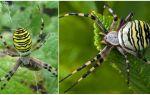 Описание и фото тигрового паука