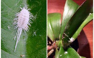 Как бороться с мучнистым червецом на орхидеях