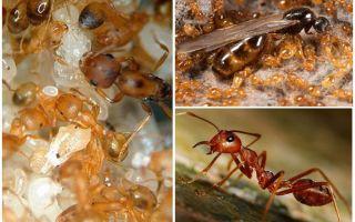 Фараоновые муравьи