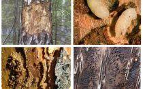 Как бороться с жуком короедом в деревянном доме