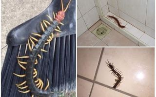 Как бороться со сколопендрами в доме