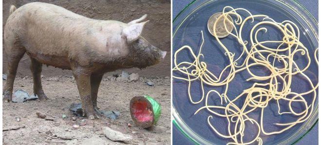 Чем и как вывести глисты у свиней и поросят
